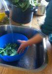 wassen spinazie
